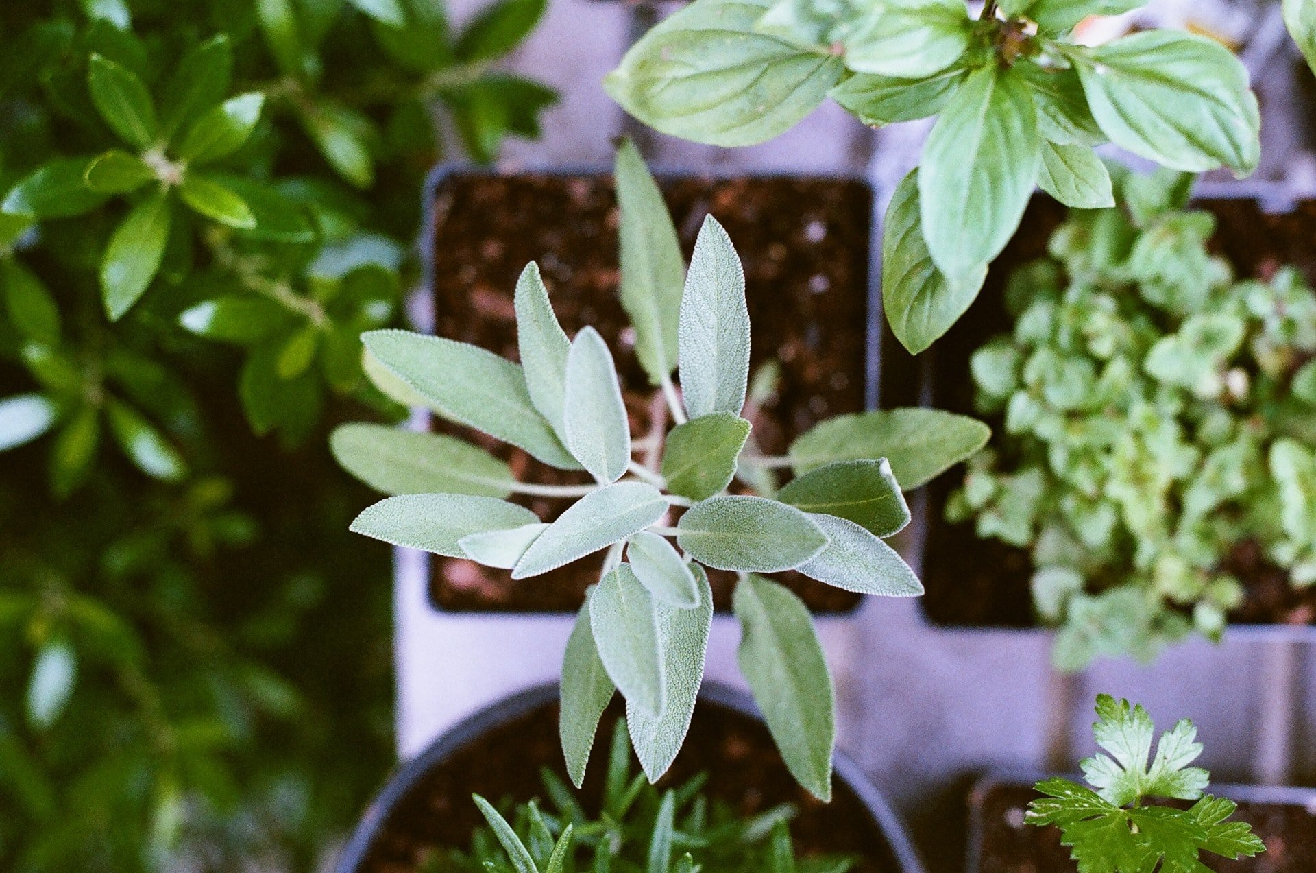 Useful herbs and how to care for them